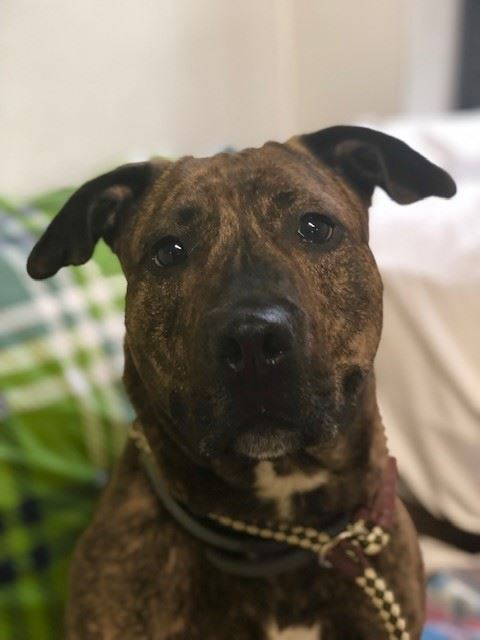 Lady3024, brindle mix female dog