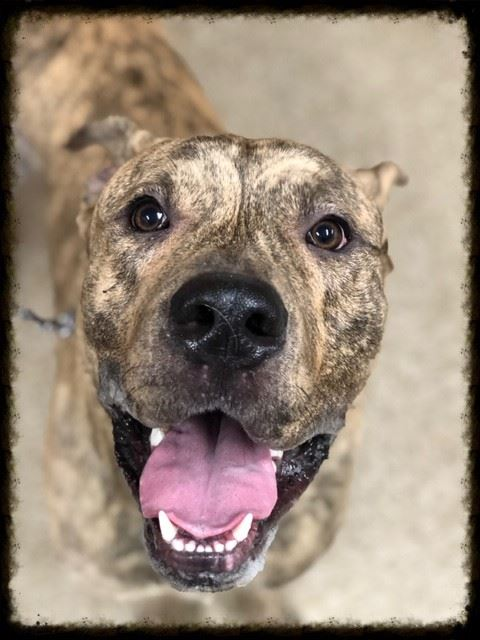 Claude30861, brindle stray male mix dog inside