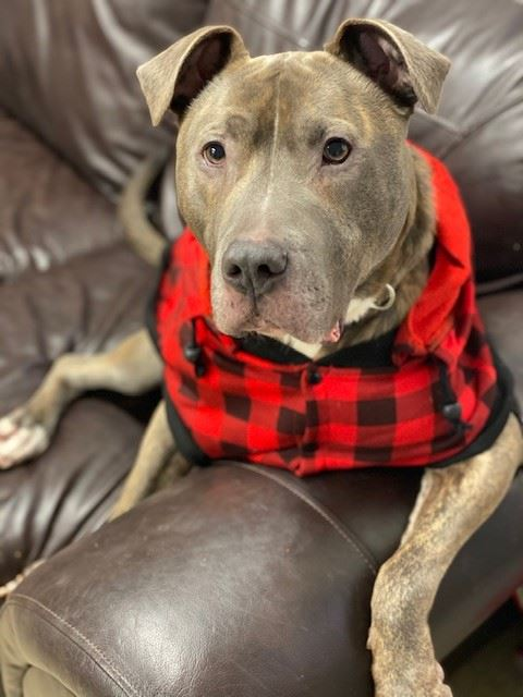 Curtis1, brindle and white dog in a red sweatshirt at the shelter available for adoption
