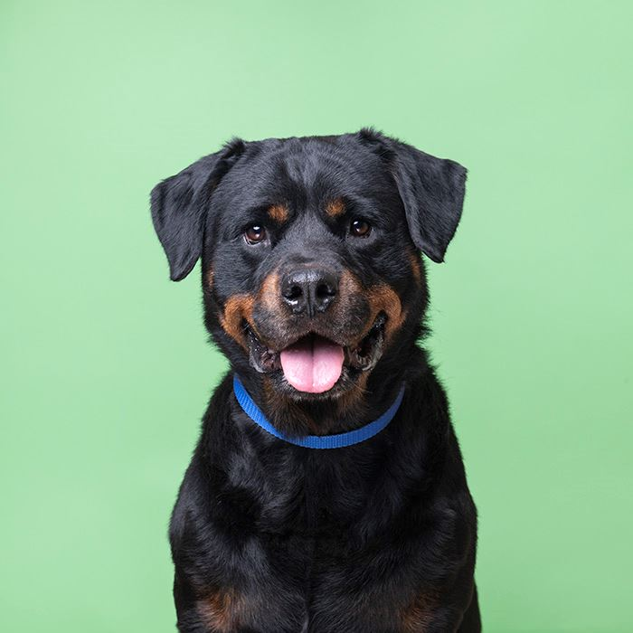 leah01_brookhaven2, female rotti available at the shelter for adoption
