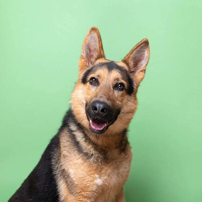 Max2, male neutered germ Shep at the shelter available for adoption