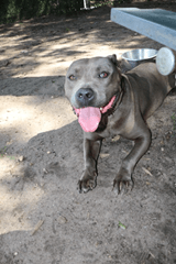 Grey pitbull smiling for camera